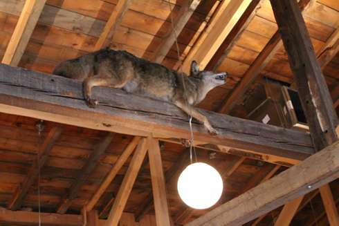stuffed wolf howling at the moon at cabane a sucre pied de cochon apple season 2014